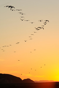 Pelicans at Sunrise - Bahia de Los Angles 2419 - 300