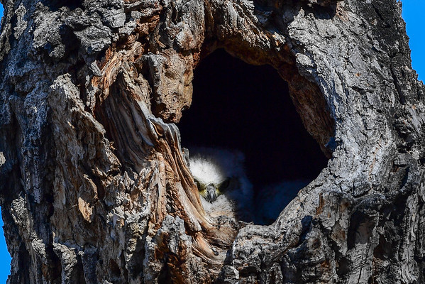 4-2-16 Great Horned Owlets