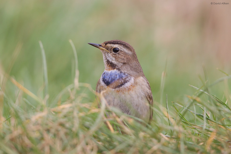 Bluethroat - Willow Tree Fen, Lincolnshire 24/02/17
