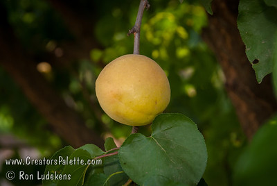 Moniqui Apricot - Prunus armeniaca sp.