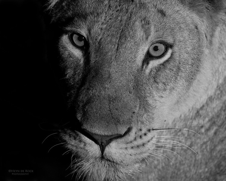 African Lion, b&w, Sabi Sands (EP), SA, Oct 2016-35.jpg