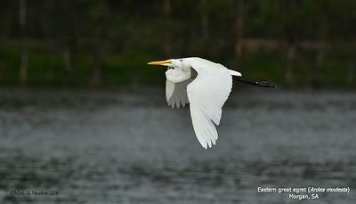 Eastern Great Egret  (Ardea alba modesta)
