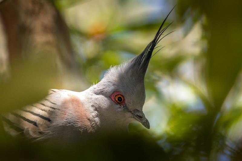 Crested Pigeon, Buderim, Queensland