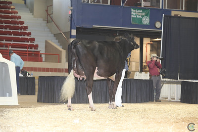 NY Spring Holstein Int Cows 2017