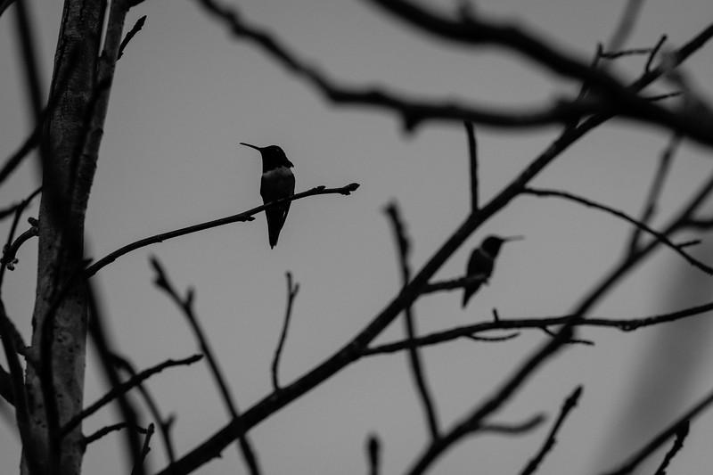 HahnHummingbirds1Feb2020-113.jpg