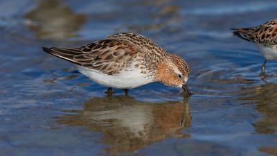Red-necked Stint - Little Stint - Temminck's Stint - Sanderling - Birding Siberia