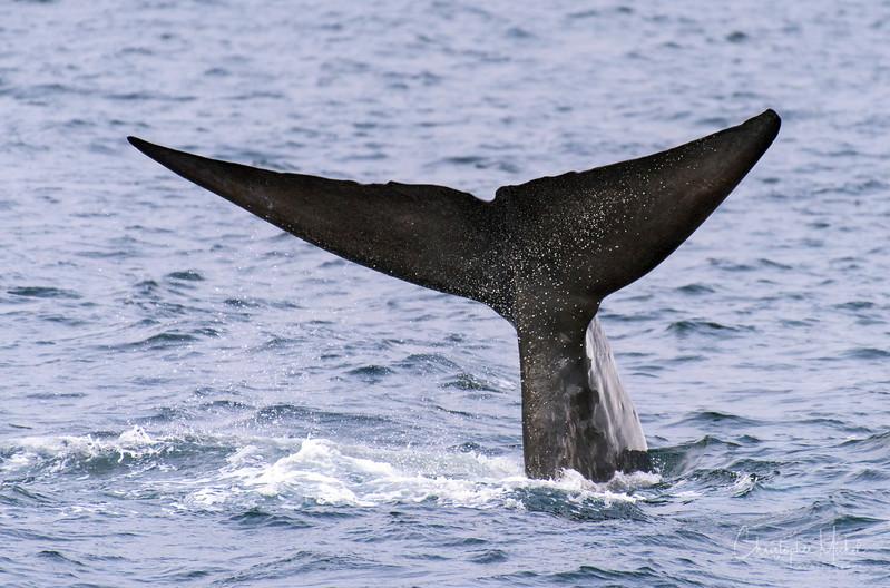 9-3-16176912 kenvikken, svalbard blue whale.jpg