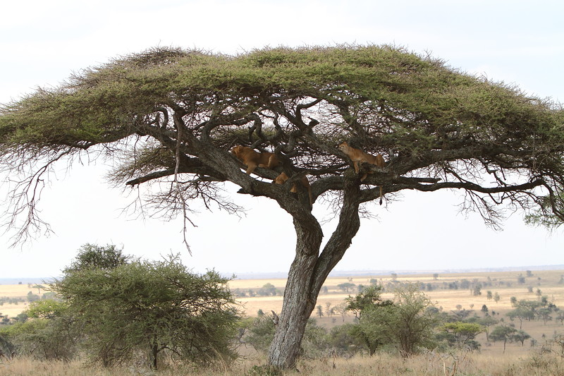 Lions in Tree 2.JPG