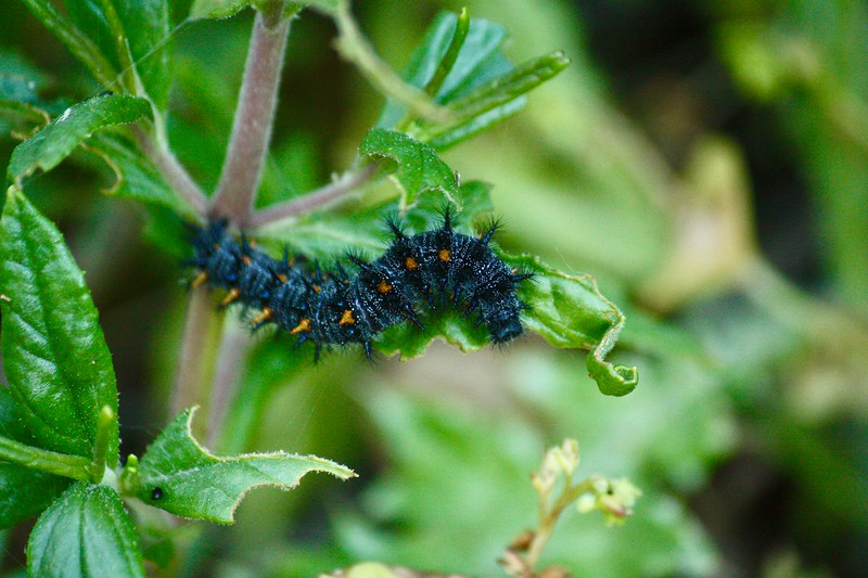 Getting Ready To Fly --- A larva of the Variable checkerspot