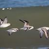 Sanderlings at Assateague National Seashore