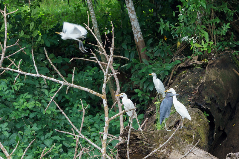 Little Blue Heron and Cattle Egrets
