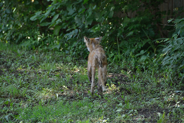 Fox or Coyote in Lenexa, Ks 6.6.2015