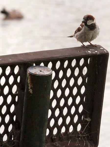bird_sparrow-ankeny-01jul15-09x12-001-3693