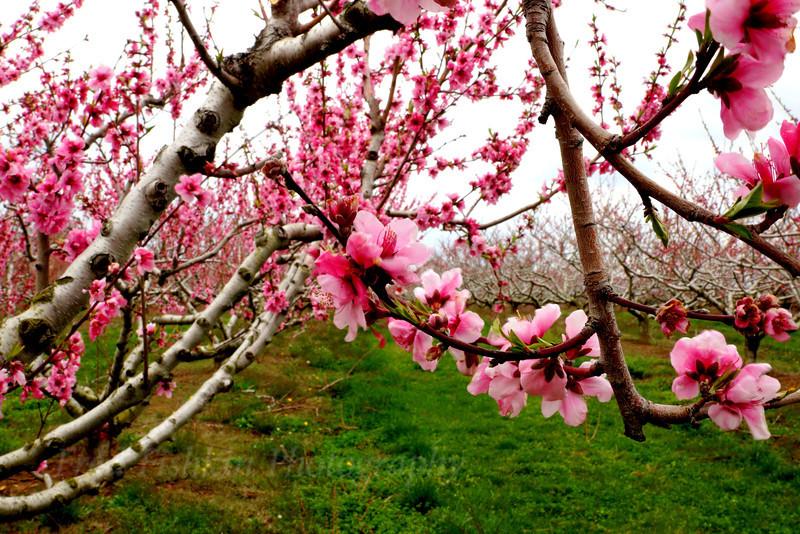 peach blossoms 4.jpg