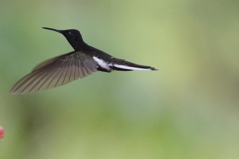 19-Sept Brazil Birds-8318.JPG