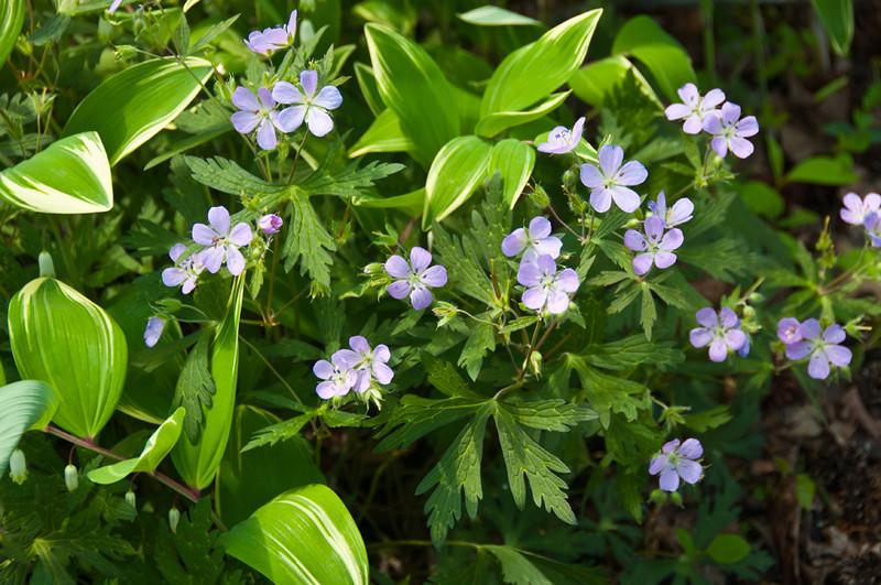Native Geranium