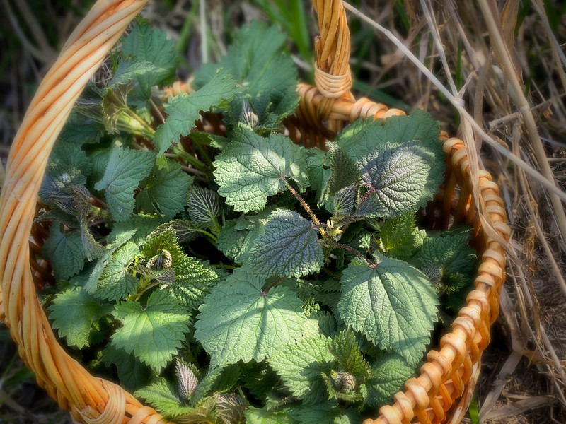 Wild-Foraged Spring Nettles for SPRING NETTLE SOUP with Overwintered Leeks and Potato