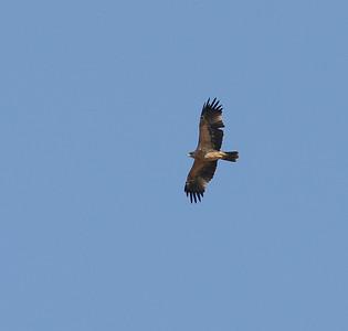 Iberiankeisarikotka (Aquila adalberti)