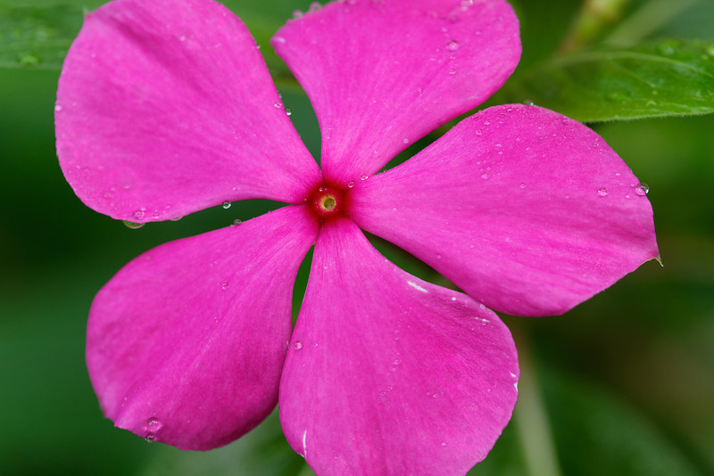 Pink periwinkle (Catharanthus roseus)
