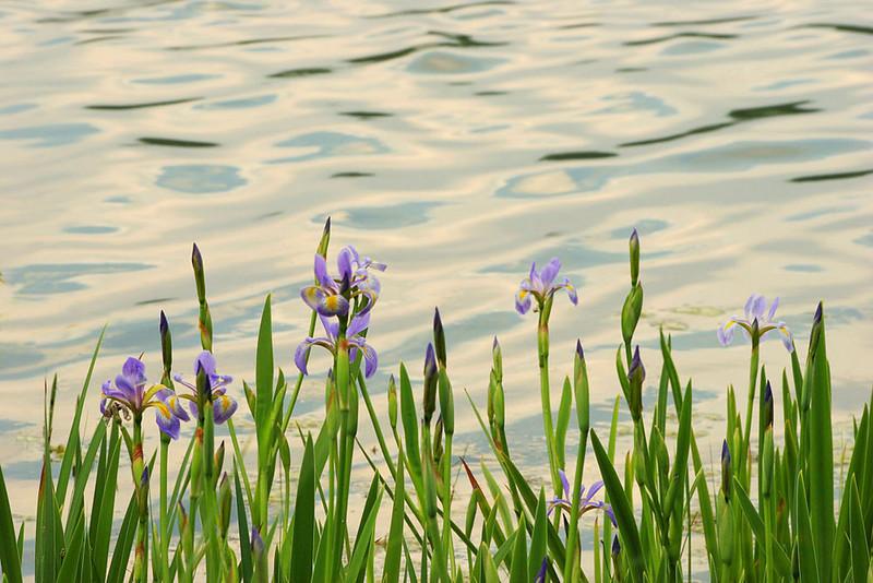 Irises at lake, Illinois