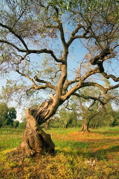 Old Olive Tree, Puglia