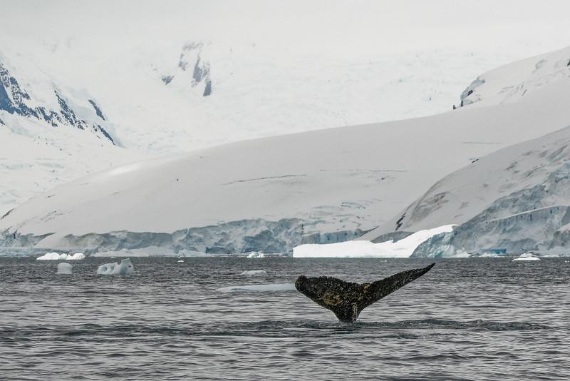 Buckelwale waren direkt vorm Boot. Helga war etwas beunruhigt.