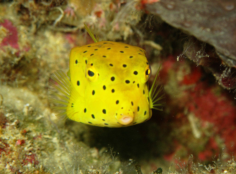 IMG_7408Ar_Yellow Boxfish (Ostracion cubicus).JPG