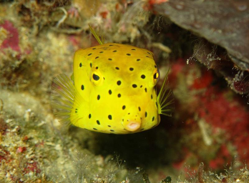IMG_7408Ar_Yellow Boxfish (Ostracion cubicus).JPG
