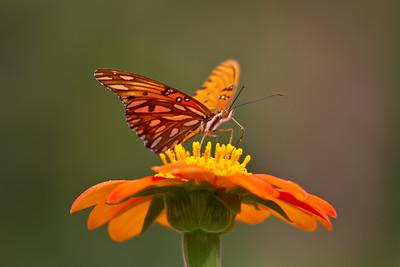 Local Butterflies