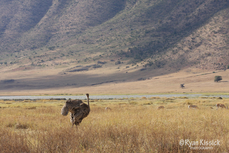 Female ostrich with Ngorogoro Crater in the background
