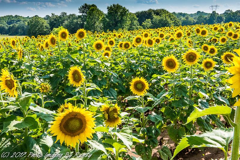 Sun Flowers-6.JPG