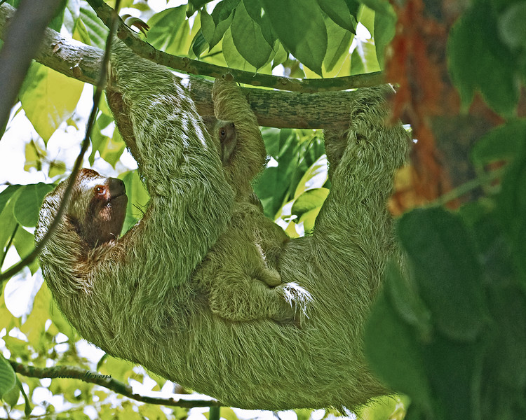 IMGP4741 mother and baby sloth fs 8 x 10 show redone.jpg