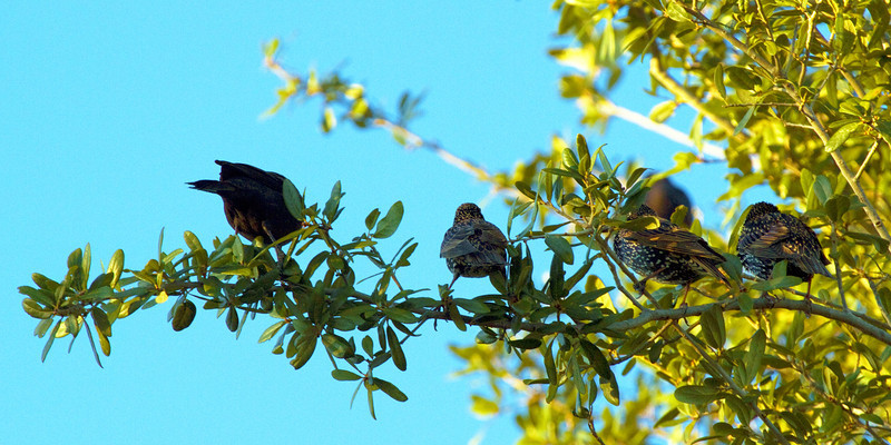 Five starlings on a branch in Houston