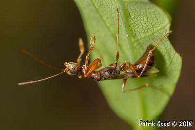 Zikadenwespe (Familie Dryinidae)