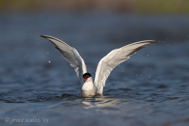 Common Tern Adult Wing flap
