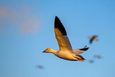 01/29/21 Snow Geese