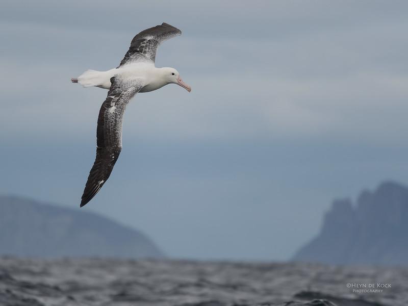 Southern Royal Albatross, Eaglehawk Neck Pelagic, TAS, Sept 2016-3.jpg