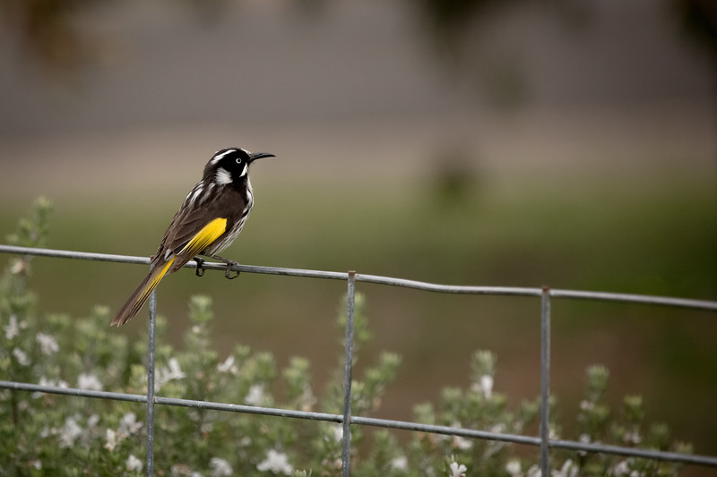 New Holland honeyeater, Baudin Beach, Kangaroo Island
