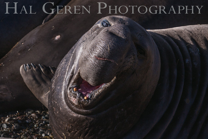 Elephant Seal Bull Challenge.  Note the scarred face. Big Sur, California 1401BS-ESBC1
