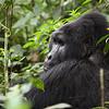 Wild mountain gorilla (Silverback). Bwindi Impenetrable Forest, Uganda.