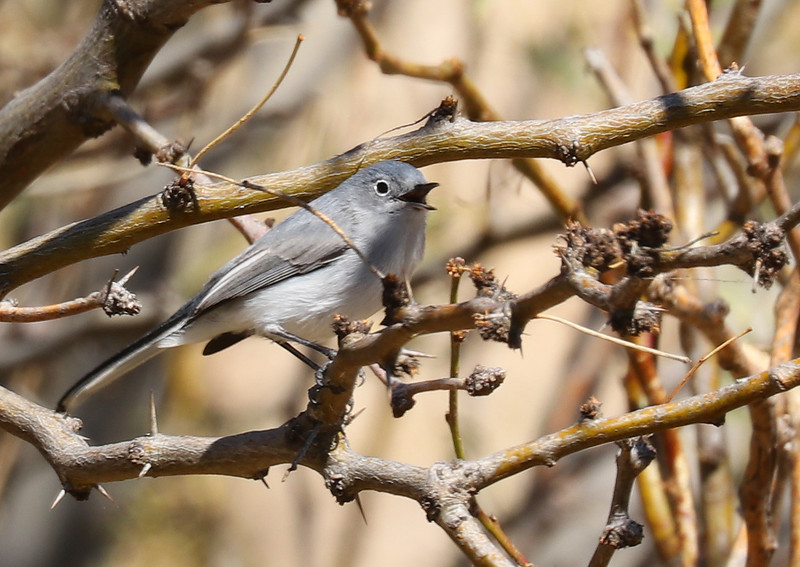 Blue gray gnatcatcher IMG_8741.jpg