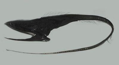 A umbrella mouth gulper eel.