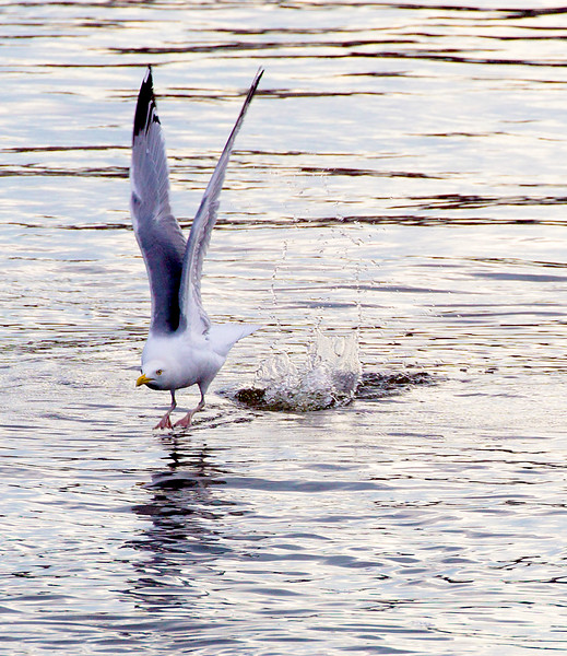A Herring Gull takes off next to our boat.