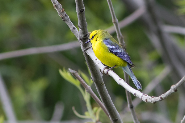 Warblers and Ex-Communicated Warblers