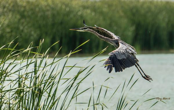 Great Blue Heron_DWL5839.jpg