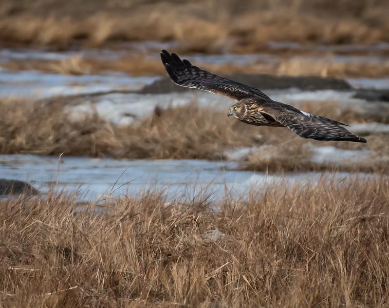 Northern Harrier female glider