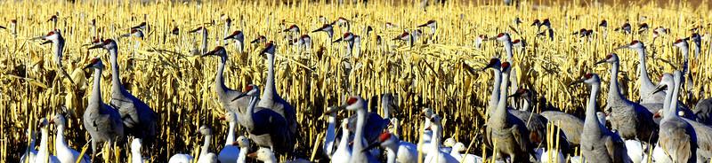 A Bumper Crop of Cranes