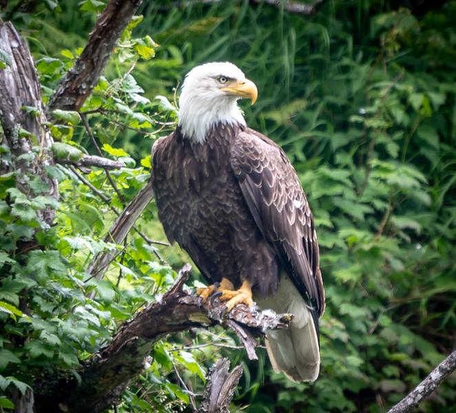 0911 Eagle.jpg