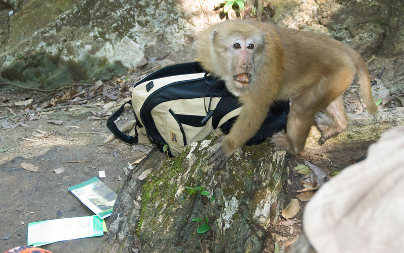 Thieving monkey near Seven Falls