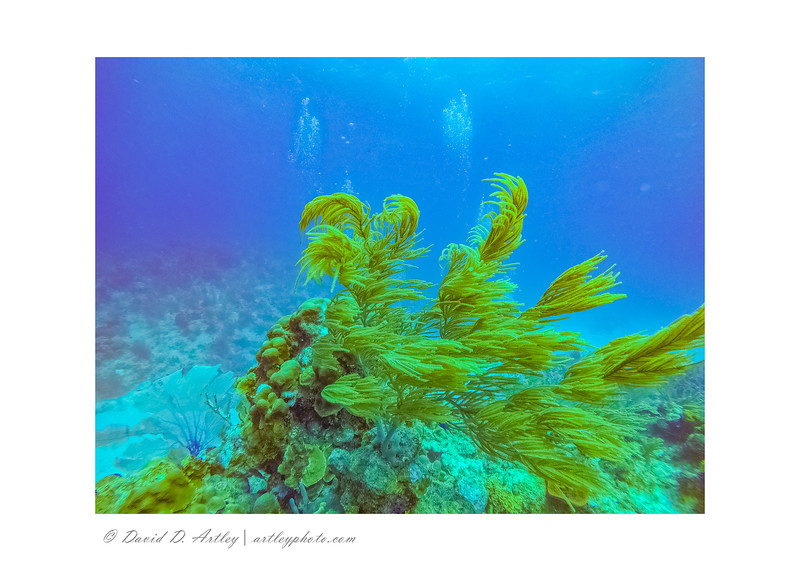 Sea Plumes, Sunset Reef, East End, Grand Cayman